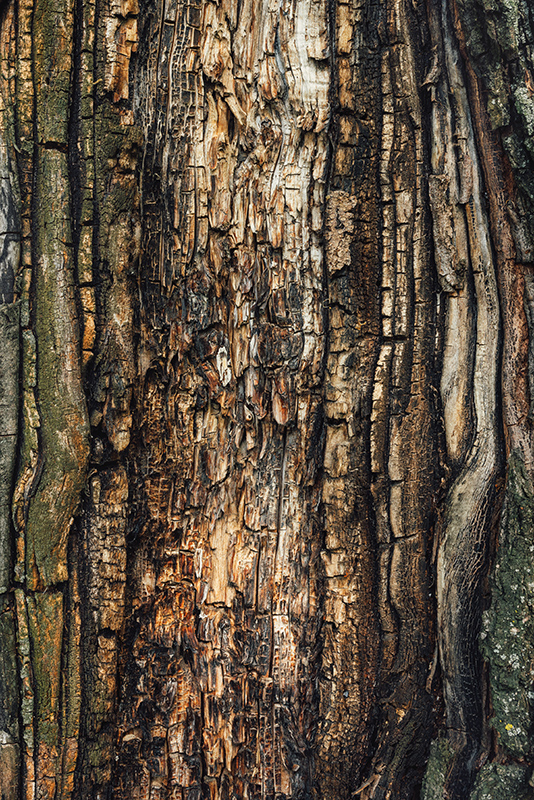 Old maple tree bark texture, abstract natural background