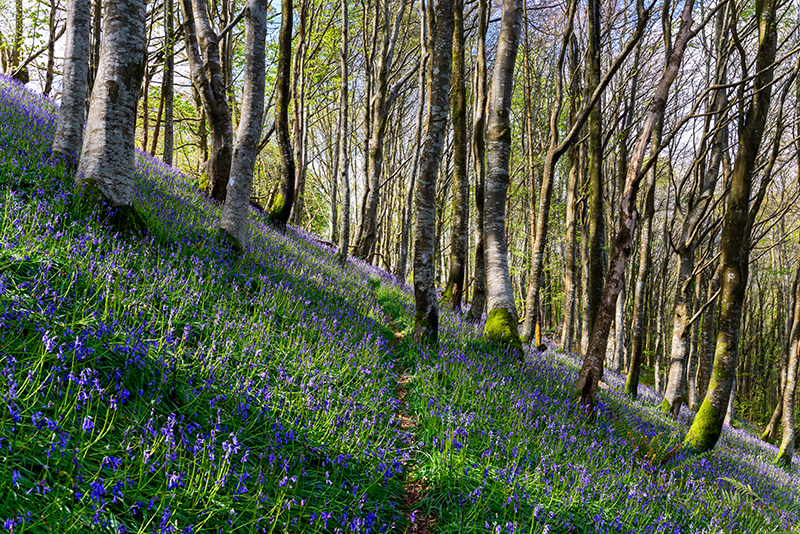 Native Bluebells growing on a steep wooded hillside