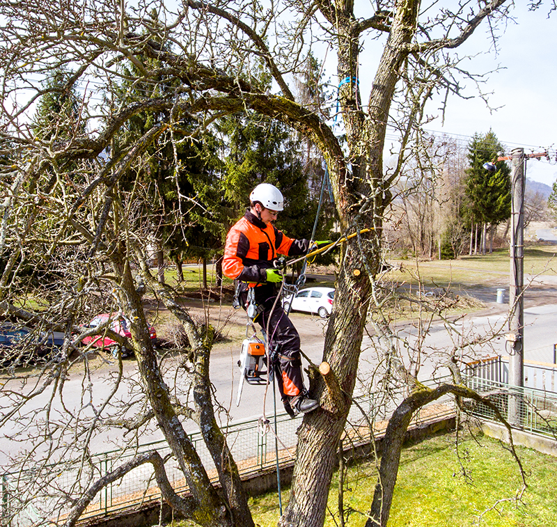 A tree surgeon, arborist climbing a tree in order to reduce and cut his branches.