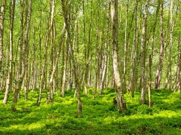 birchforest