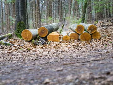 An image of a cut wood in the forest